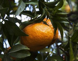 mandarino-400x311