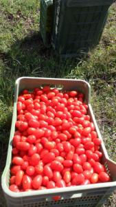 pomodoro-cannellino